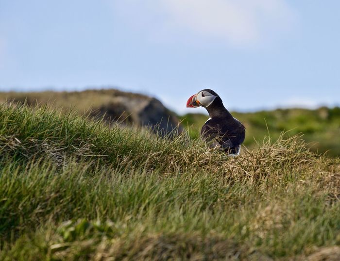 Puffin perching on grassy land