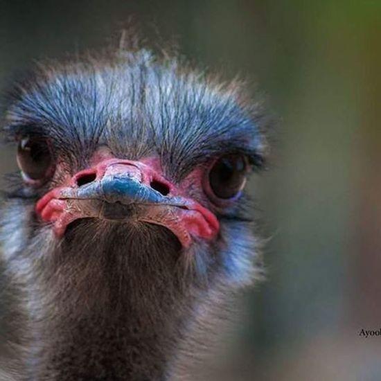 Autruche Autruches Ostrich Ostriche نعامة Ayoob_almane