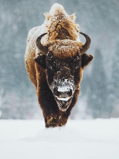 American bison walking on snow during winter
