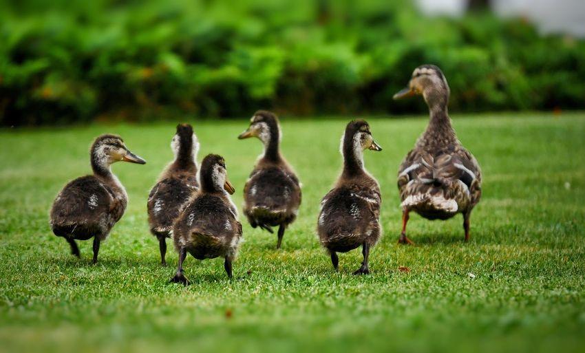 Ducklings on grassy field