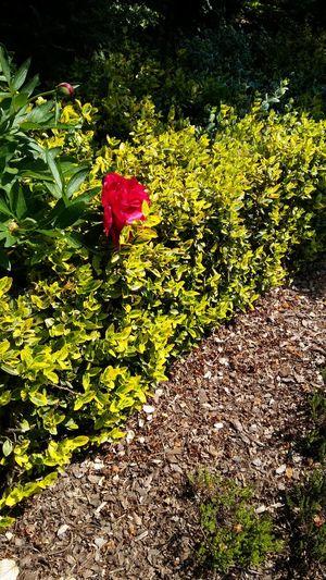 Czerwona niespodzianka Hello World Flowers Goczałkowice Sun