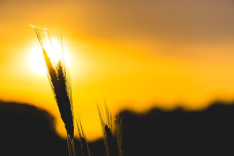 Sunset Growth Beauty In Nature Crop  Agriculture Plant Sky Cereal Plant Close-up Nature Tranquility Focus On Foreground No People Field Wheat Orange Color Sun Scenics - Nature Land Sunlight Outdoors Stalk EyeEm Best Shots EyeEm Selects EyeEm Nature Lover EyeEm Gallery My Best Photo