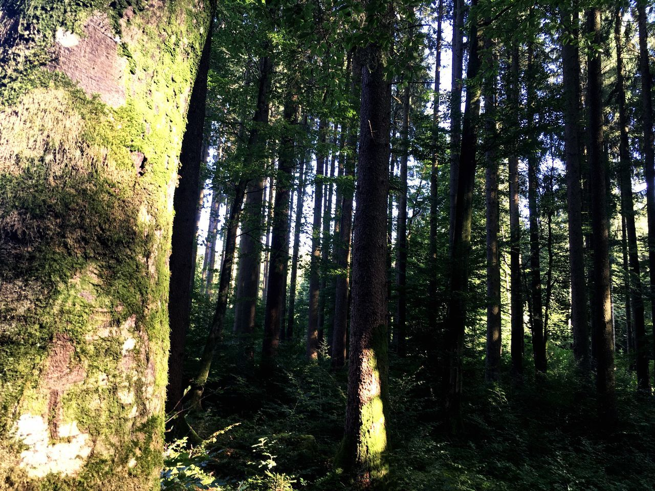 forest, tree, tree trunk, nature, tranquil scene, tranquility, growth, scenics, no people, beauty in nature, day, woodland, outdoors, landscape