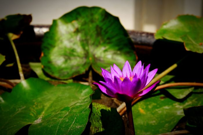 Flower Flower Head Nature Lotus Water Lily Beauty In Nature Freshness Close-up Outdoors Travel Destinations Buddha Temple Buddha Temple, Thailand Outdoor Photography Bangkok Thailand. Travel