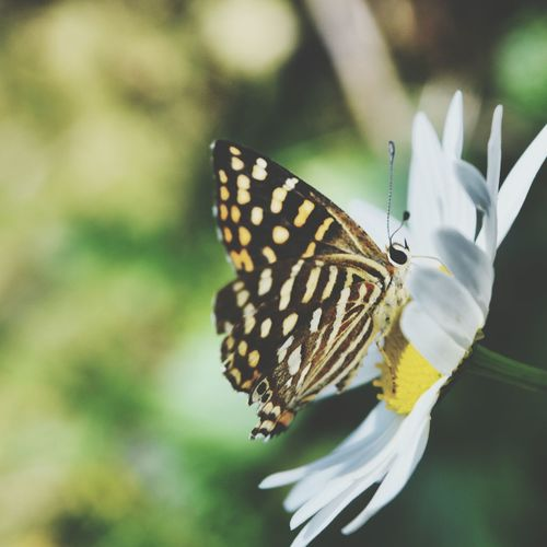Close-up of butterfly on white daisy blooming outdoors