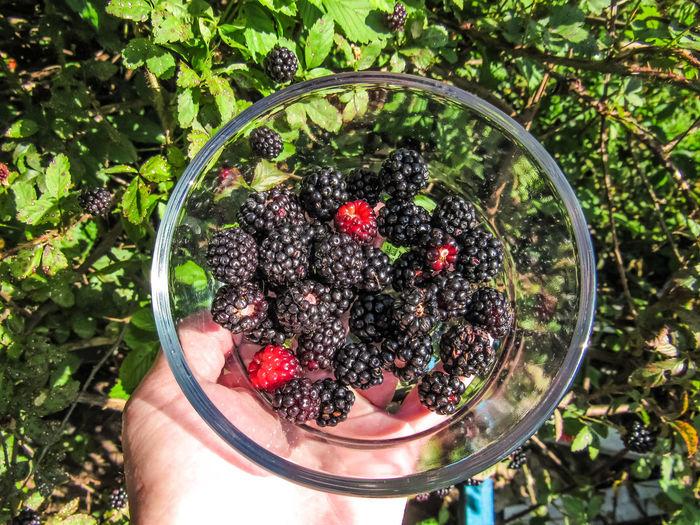 Hand holding glass bowl of fresh black dew berries