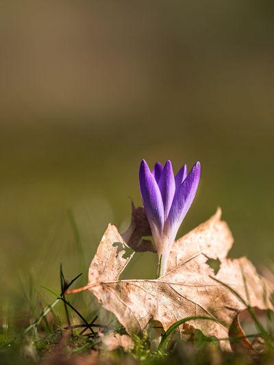 Close-up of purple crocus plant