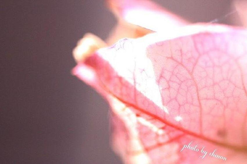 2016.02.10. 花 * 春一番かしら? スゴい風で近所のCO・OP箱が 飛んできました(^_^;) ちゃんと戻して飛ばないように してきました😅 * 過去写真 ブーゲンビリア Japan_daytime_view Flower Simply_flowers Flower_special_ Loves_flowers_ Ponyfony_flowers Captures_flowers Nature_special_ Canon Canonphotography EOSKissX2 ファインダー越しの私の世界 写真撮ってる人と繋がりたい 写真好きな人と繋がりたい Shinon_flower
