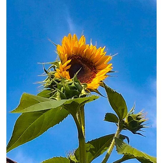Close-up of sunflower plant against blue sky