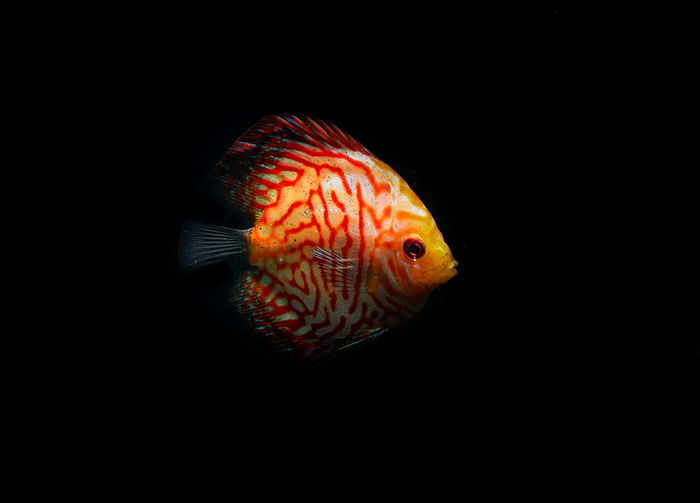 Pompadour fish aquarium Fish Animal Animal Themes One Animal Animal Wildlife Vertebrate Sea Water Animals In The Wild Underwater Swimming Marine Sea Life Black Background Nature No People Copy Space Orange Color Close-up Indoors  UnderSea Profile View