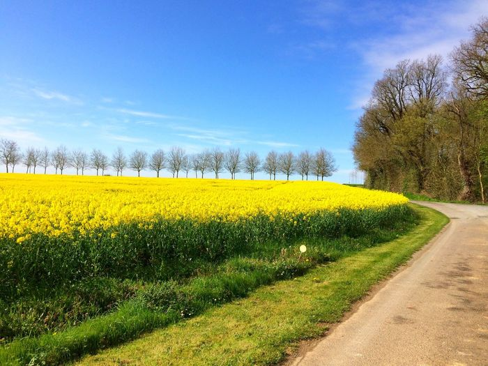 Yellow Flowers Growing On Field By Road Against Sky