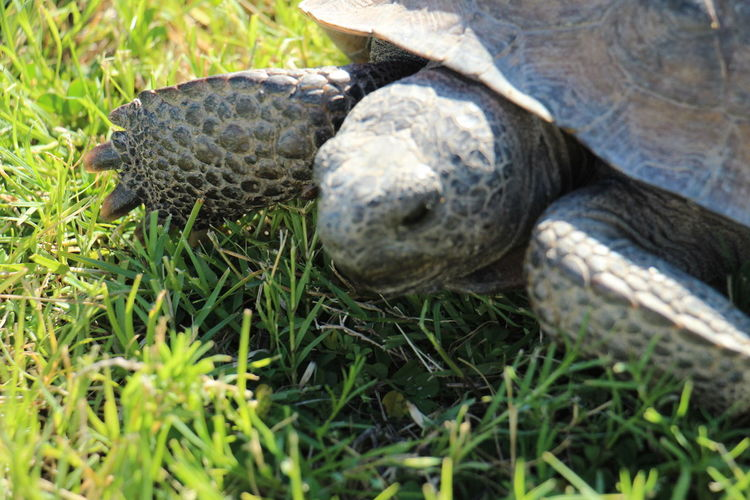 Close-up of tortoise on grass