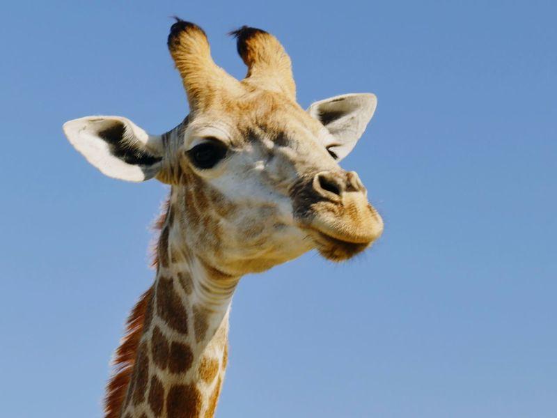 Giraffe Panasonic DMC FZ1000 Safari Giraffe♥ Afrika National Park Garden Route, South Africa One Animal Giraffe Animal Wildlife Animal Body Part Animals In The Wild Animal Animal Head  Safari Animals No People Looking At Camera Blue Sky Clear Sky Outdoors