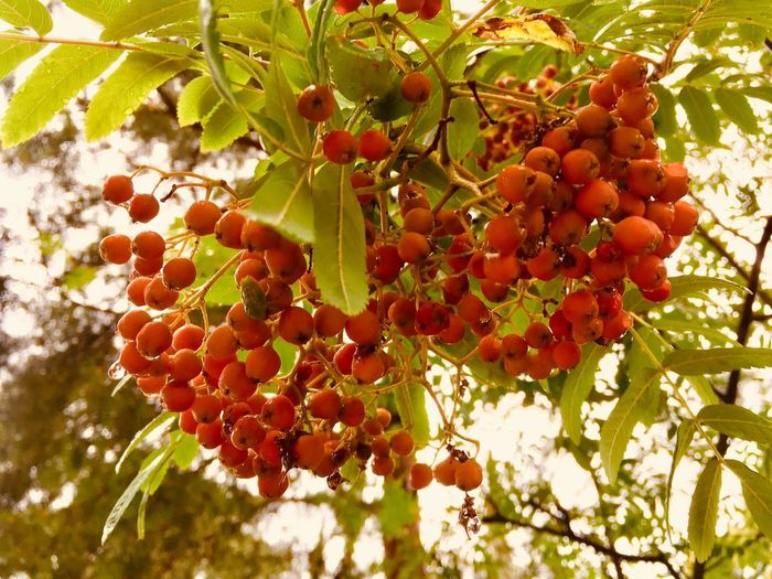 Mid summer. Rowan is ripe. Autumn soon Retro Styled Mid Summer Rowan Rowanberry Candid Photography Summertime Sunny Day Low Angle View Floral Pattern Nature_collection EyeEm Best Shots Summer Views Healthy Eating Fruit Plant Growth Tree Freshness Nature Plant Part No People Red Beauty In Nature Leaf Day Sunlight Bunch Agriculture Wellbeing