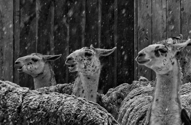 Llamas against wooden wall during snow fall