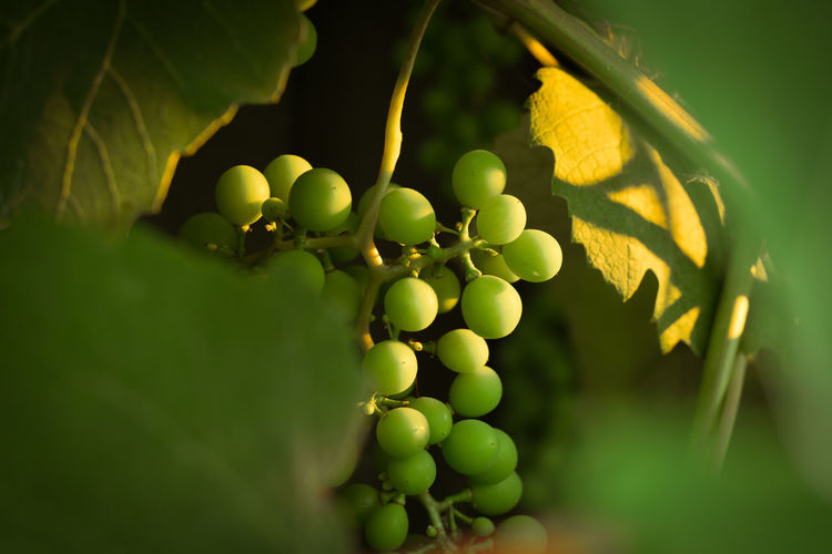 Close-up of grapes growing on plant
