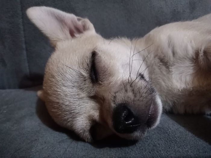 Humidity #chihuahua #chihuahuasofinstagram #chihuahualife #chihuahuas #pet #pets #petsofinstagram #dog #dogs #doggy #dogsofinsta #doggie #doggies #puppy #puppies #puppiesforall #doglover #dogloversfeed #sleepingbeast #furryfriend