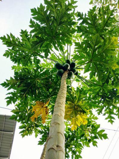 💖📷 Pappaya Pappaya Tree Pappaya Leaf Ilovephotography Edited Tree Palm Tree Tree Trunk Sky Architecture Building Exterior Green Color