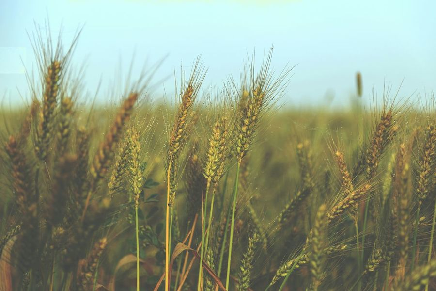 Travel Egypt Countryside Village Wheat Food Nature Natural Vscocam VSCO Agriculture Green Leaves Green Fields Greenfield Greenfields Green Field