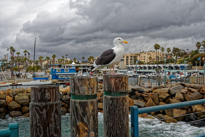Redondo Beach Winter Animal Themes Animal Wildlife Animals In The Wild Bird Cloud - Sky Day Mammal Nature No People One Animal Outdoors Pacific Ocean Perching Seagull Sky Water
