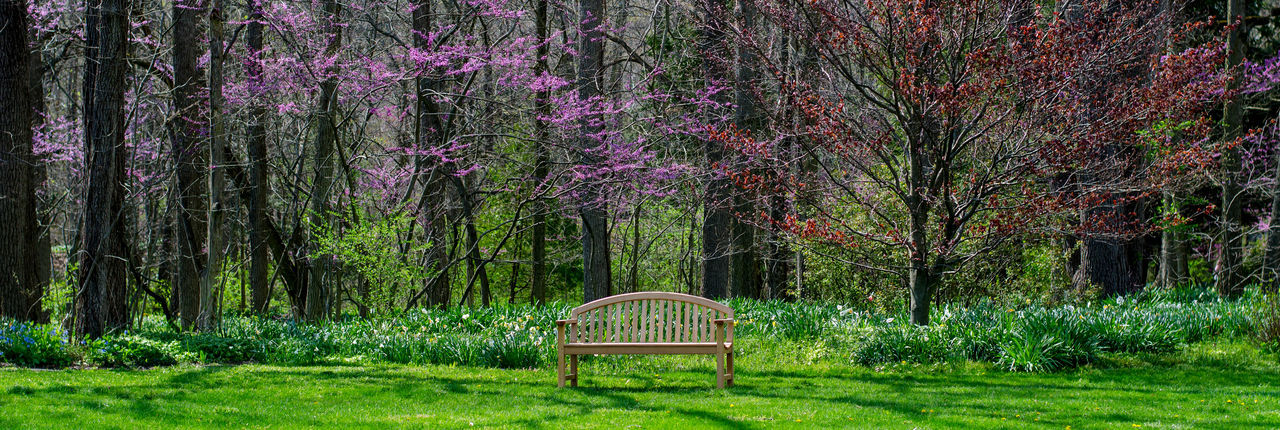 panorama of beautiful red bud trees in a Michigan USA park Plant Tree Land Growth Tree Trunk Trunk Nature Beauty In Nature Tranquility Grass Seat Green Color Forest No People Park Day Bench Tranquil Scene Absence Empty Outdoors WoodLand Park Bench Red Bud Trees Panorama