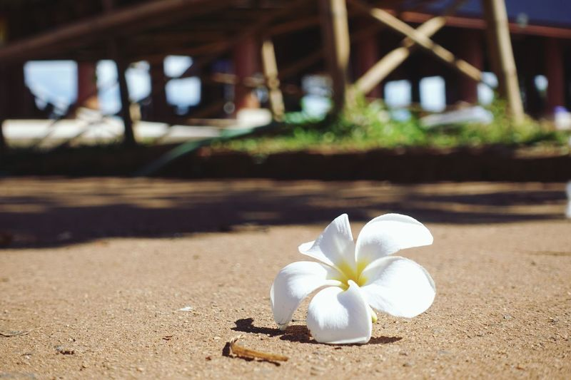 Leelawadee Thailand Chiang Mai Mae Taeng Wat Ban Den Plumeria Flowers Plumeria Flower White Color Focus On Foreground Nature Frangipani Petal Beauty In Nature Freshness Close-up