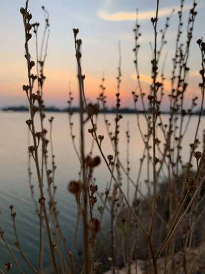 Close-up of silhouette plants against lake during sunset