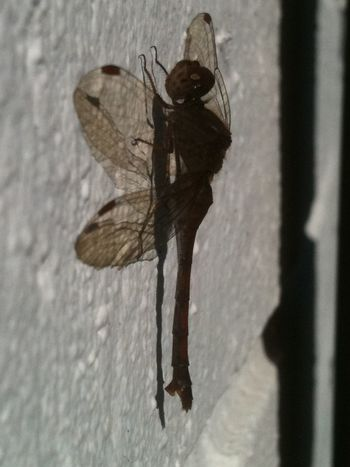 Animals In The Wild Beauty In Nature Close-up Dragonfly Insect Nature No People Outdoors Spread Wings