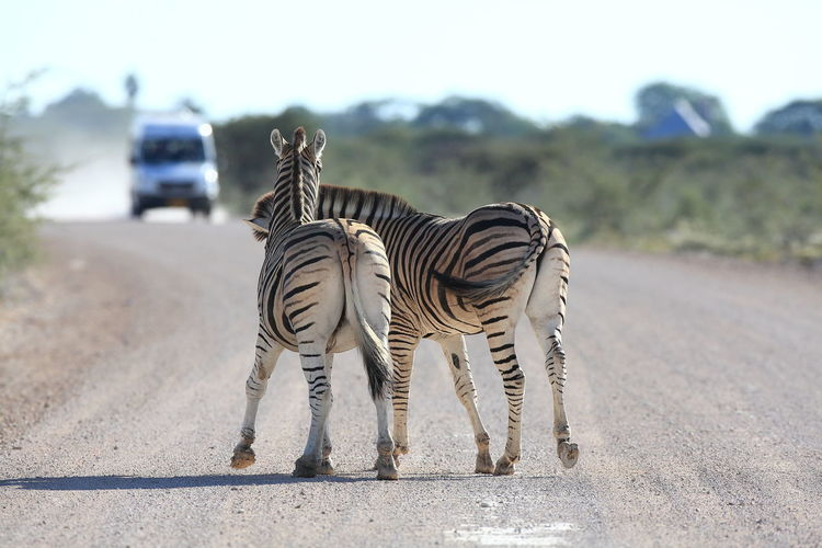 Etosha NP, Namibia Animal Themes Animals In The Wild Jocking Landscape Natural Pattern Playing With The Animals Selective Focus Striped Pattern Sunny The Great Outdoors - 2016 EyeEm Awards The Week On Eyem Tranquil Scene Tranquility Wildlife Zebra Zebra Crossing Zebra On The Road Zebra Stripes On The Way