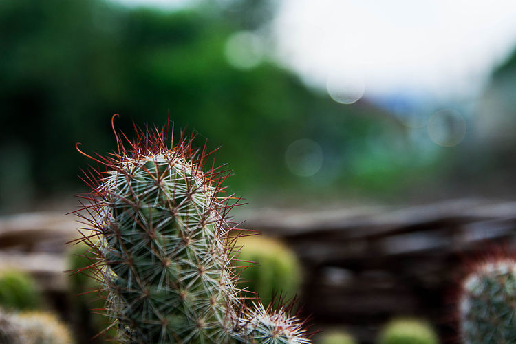 Plant Close-up Nature Day Cactus Focus On Foreground No People Succulent Plant Growth Green Color Beauty In Nature Selective Focus Thorn Outdoors Sharp Field Spiked Tranquility Land Sunlight Spiky Ecosystem
