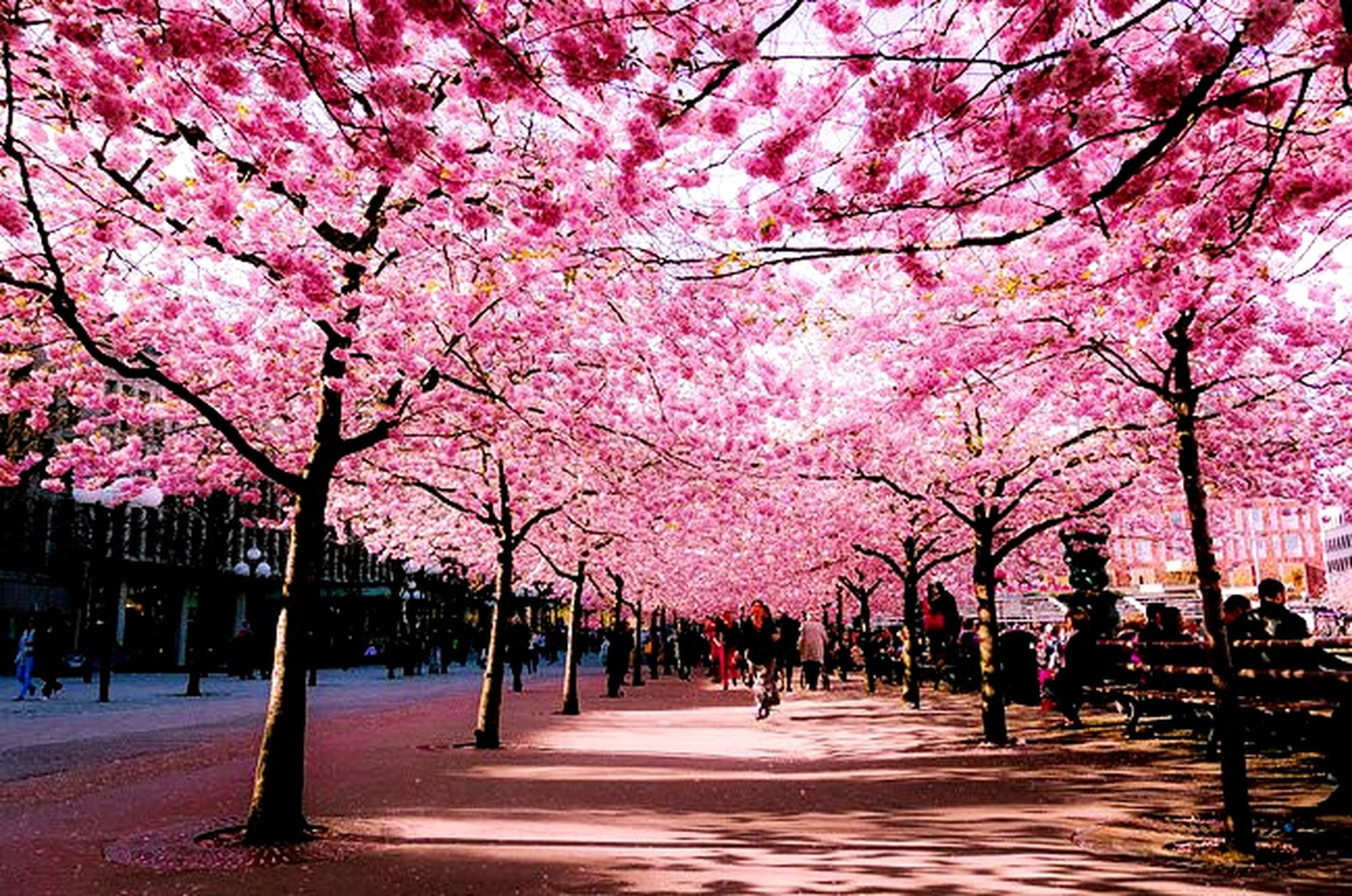 tree, branch, flower, treelined, pink color, growth, the way forward, cherry blossom, street, nature, park - man made space, incidental people, city, beauty in nature, blossom, transportation, road, footpath, large group of people
