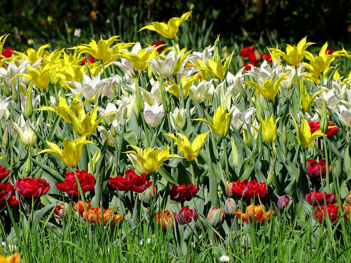 Tulip Tulips Flower Collection Spring Flowers Nature_collection Nature Beauty In Nature Flower Head Flower Poppy Red Petal Springtime Field Summer Yellow Flowerbed In Bloom Blossom