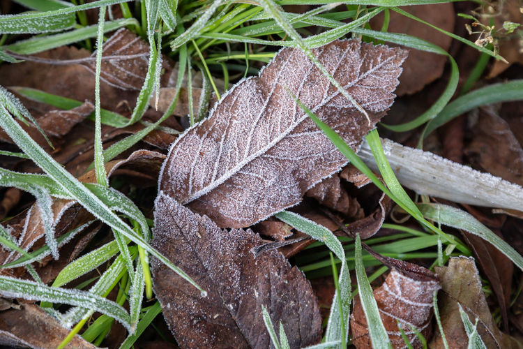 Close-up of frosted leaves
