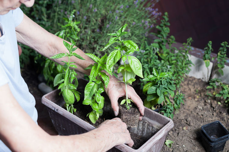 Midsection Of Senior Woman Planting Herbs In Yard