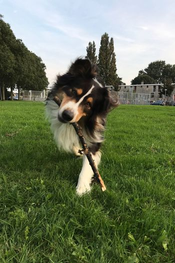 The Week On EyeEm Grass Dog Domestic Animals Pets One Animal Mammal Animal Themes Field Sky Green Color Outdoors Tree Growth Day Cloud - Sky Looking At Camera Portrait Nature No People Austrailian Shepherd Looking At Camera Amsterdam Amsterdam Noord Running