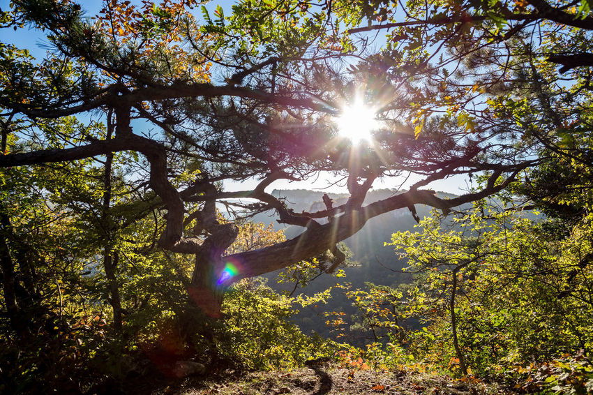 Tree Plant Lens Flare Sunlight Sunbeam Sun Nature Sky Day Growth Branch Low Angle View Beauty In Nature Sunny Streaming Land Forest No People Tranquility Back Lit Outdoors Solar Flare Bright Brightly Lit
