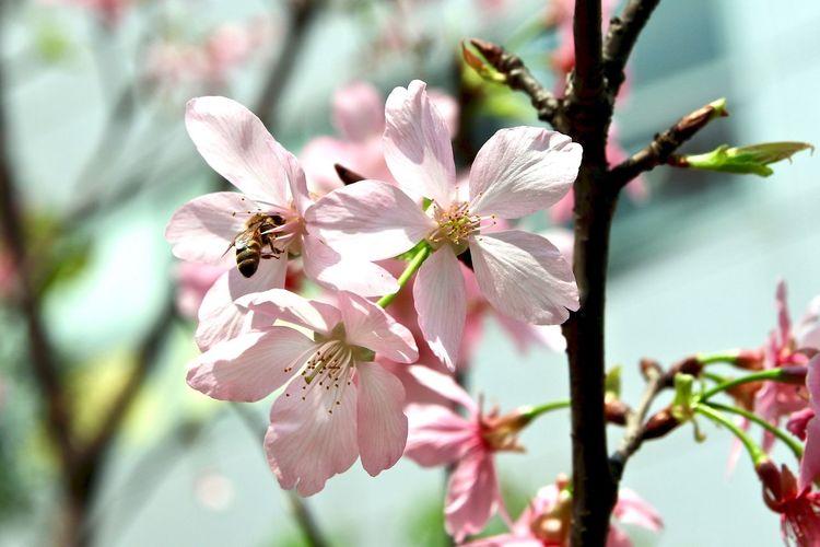 #cherry blooms