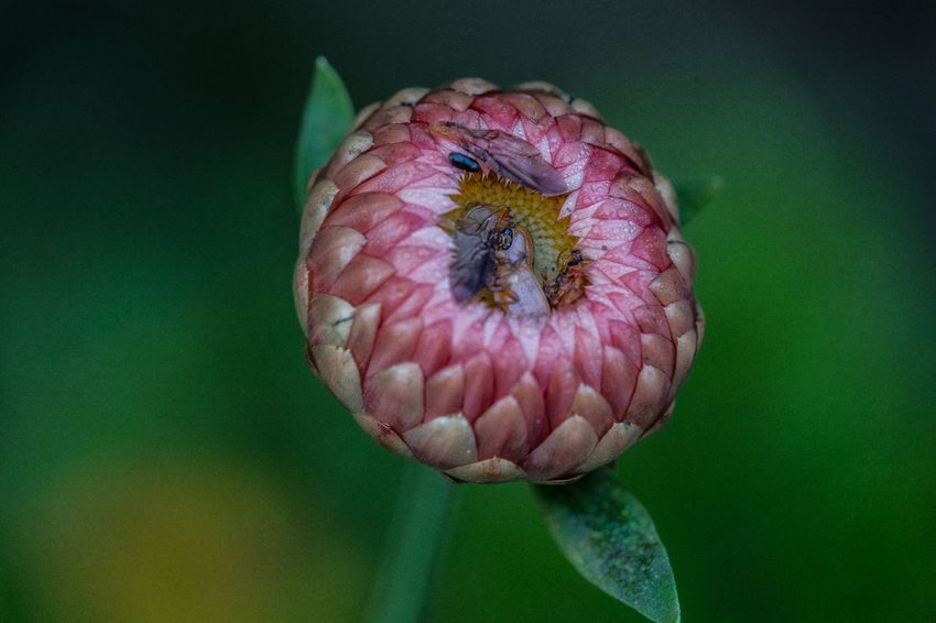 Deceptively Simple Flowers Strawflower Insects  Macro