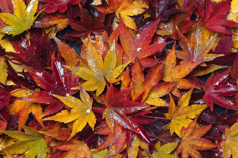 Full frame shot of wet maple leaves during rainy season