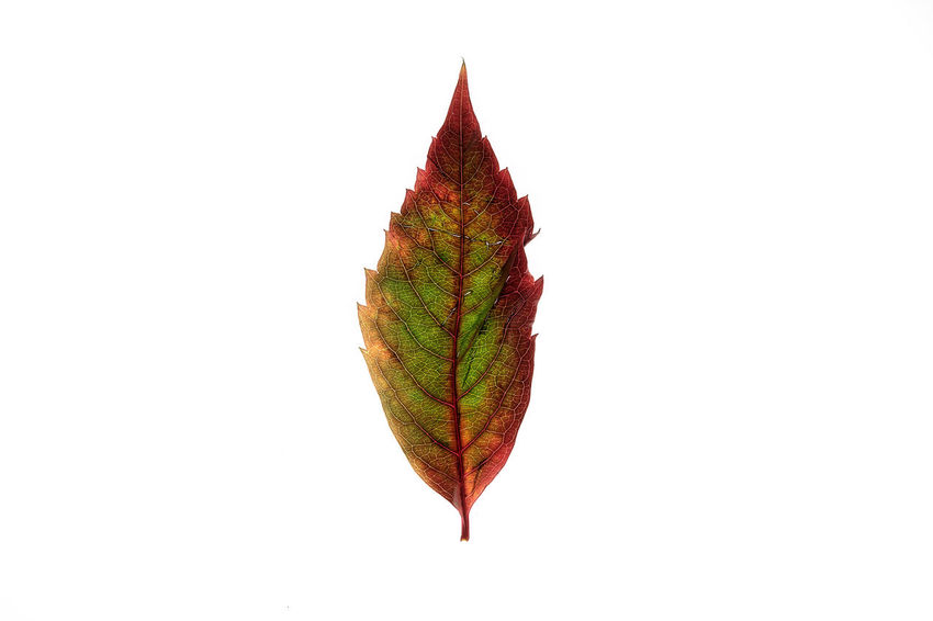 The wonder of nature Atumn Colors Autumn Beauty In Nature Close-up Colour Of Life Leaf Red Color The Red Series The Wonder Of Nature