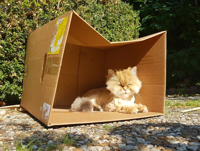 Domestic Cat Outdoors Front Or Back Yard Cardboard Box No People Sunlight Day Mammal Pets Domestic Animals Animal Themes Nature Multi Colored Golden Shaded The Purist (no Edit, No Filter) Raw Photography British Shorthair Cat Pet Portraits