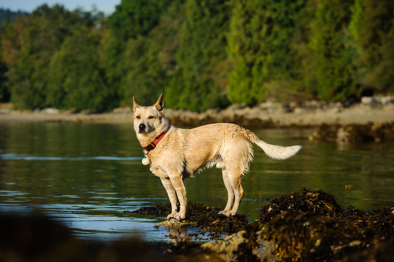 Australian Cattle Dog Animal Themes Australian Cattle Dog Cattle Dog Day Dog Dogs Domestic Animals Heeler Herding Dog Lake Nature Nature No People Outdoors Pets Water