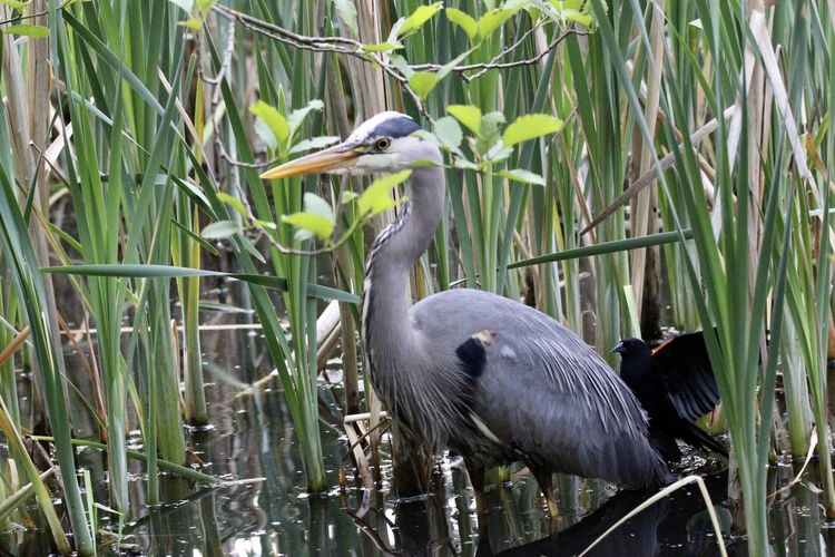 Gray heron perching on grass