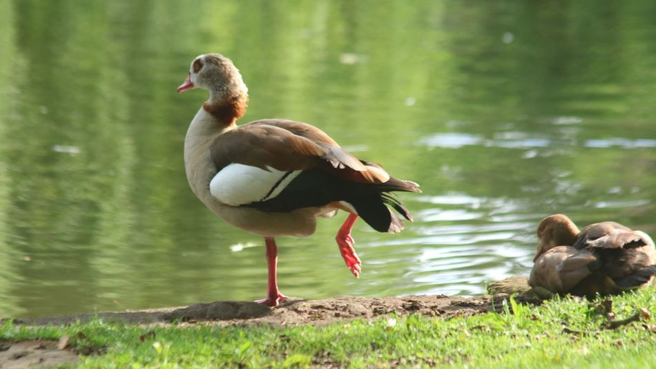 EyeEm Selects Animal Themes Bird Animals In The Wild Duck Lake Animal Wildlife Mandarin Duck Water Nature Day Water Bird Outdoors No People Beauty In Nature Nilgans Egyptian Goose