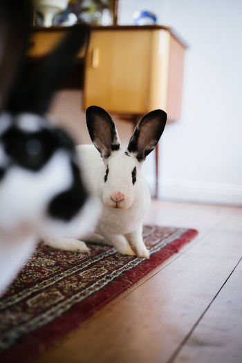 Rabbits Animal Themes Close-up Day Domestic Animals Home Interior Indoors  Looking At Camera Mammal No People One Animal Pets Portrait Rabbit Sitting Table