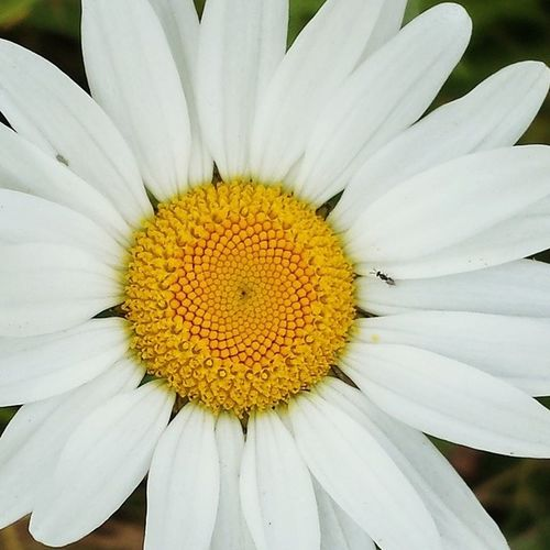 Perfection Sacredgeometry Daisy Nature Flowers Meadow Summertime Photography Daisy Flower Macro Close-up Bug