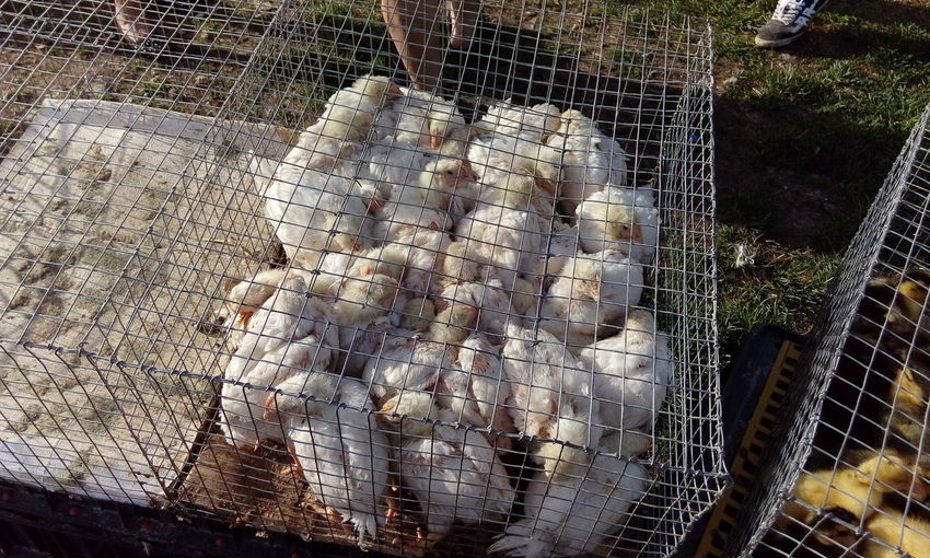 Close-Up Of Chickens In A Cage