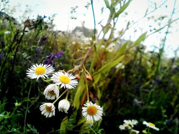 Flower Chamomile Field Fun Sonny Morning Relaxation Gently Beautiful