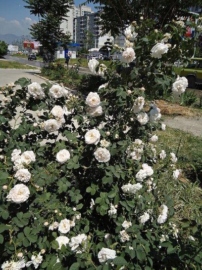 Bush Flowers Novorossiysk Roses Roses Shrub Shrub Roses Street Summer White & Green White Roses Rose Shrub