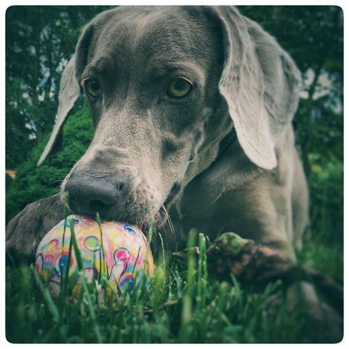 Dog Love Dog Portrait Ball Eye Check This Out Hello World Relaxing Taking Photos Enjoying Life Grass Playground Weimeraner